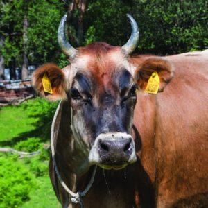 Българско говедо