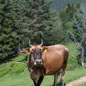 Родопско говедо