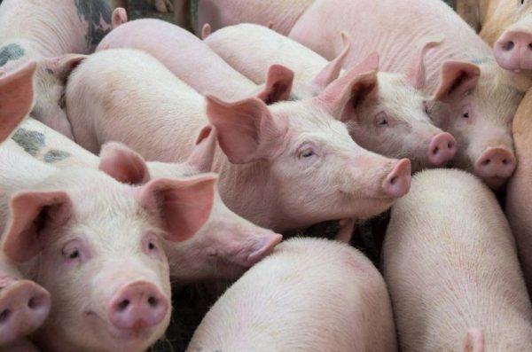 svinsko meso